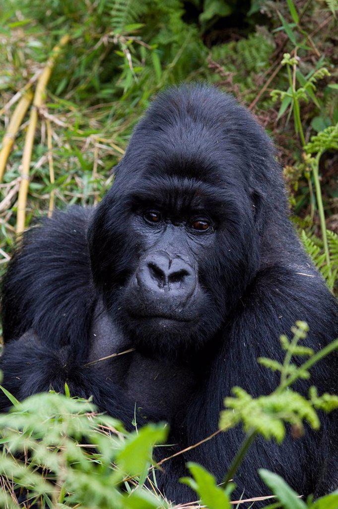 Stock Photo: 1890-82021 Mountain Gorilla Gorilla gorilla beringei silverback, Kongo, Rwanda, Africa