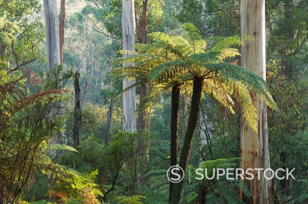 Tree ferns, Yarra Ranges National Park, Victoria, Australia, Pacific : Stock Photo