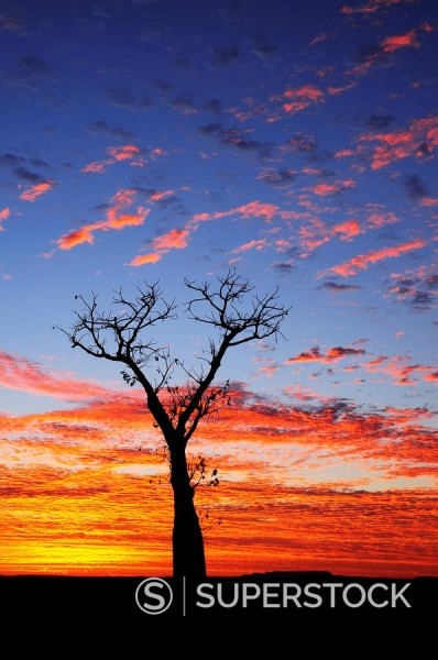 Boab tree at sunrise, Kimberley, Western Australia, Australia, Pacific : Stock Photo