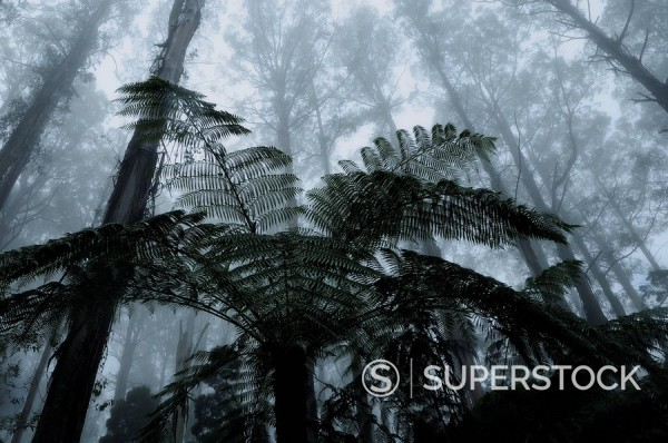 Mountain ash trees, the tallest flowering plants in the world, and tree ferns in fog, Dandenong Ranges, Victoria, Australia, Pacific : Stock Photo