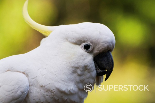 Stock Photo: 1890-82652 Sulphur_crested cockatoo, Dandenong Ranges, Victoria, Australia, Pacific