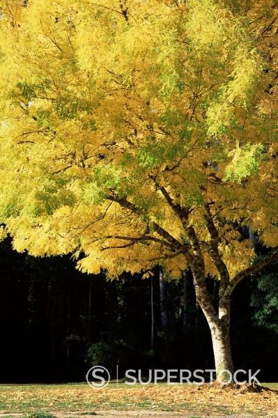 Marysville Australia  city photos : Golden robinia, Marysville, Victoria, Australia, Pacific Stock Photo ...