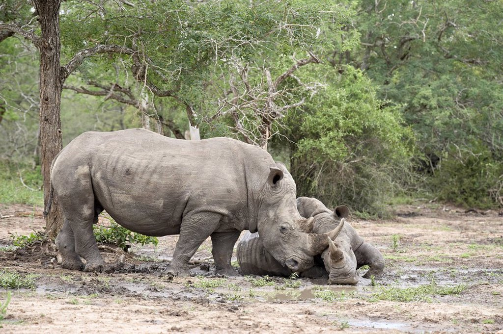 Stock Photo: 1890-83969 Two white rhinoceros Ceratotherium simum rubbing noses, Imfolozi Game Reserve, South Africa, Africa