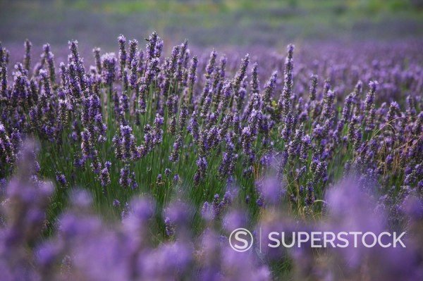 Lavender fields, Provence, France, Europe : Stock Photo