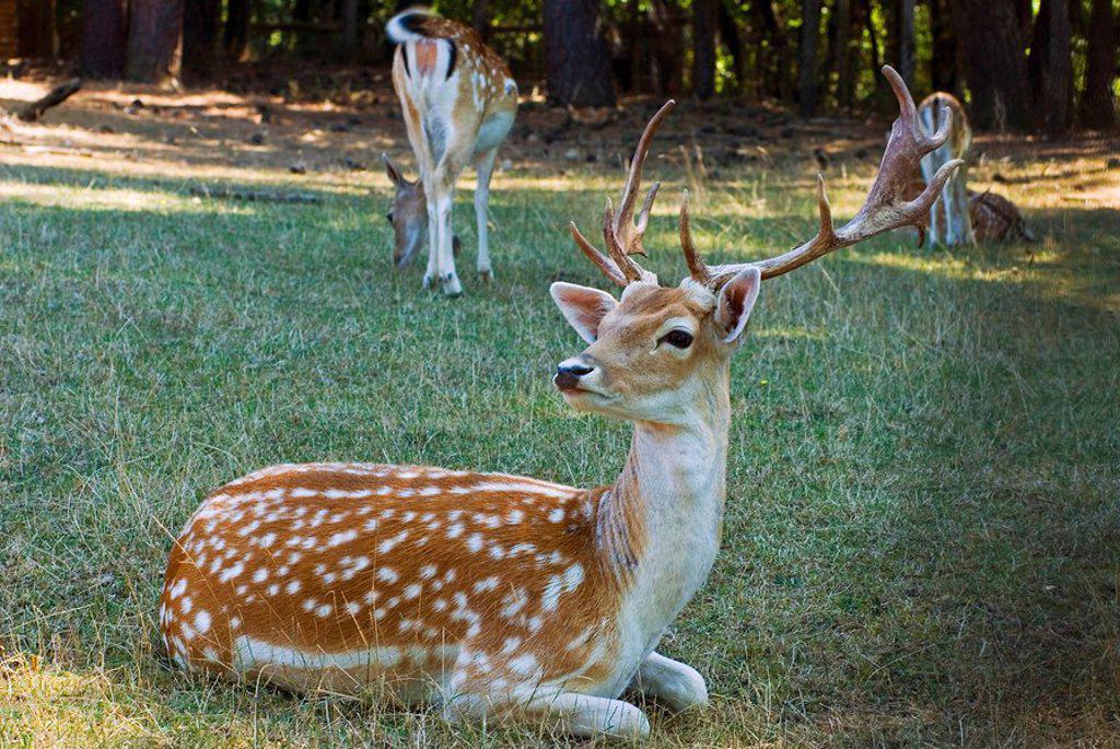 Fallow deer Dama dama : Stock Photo