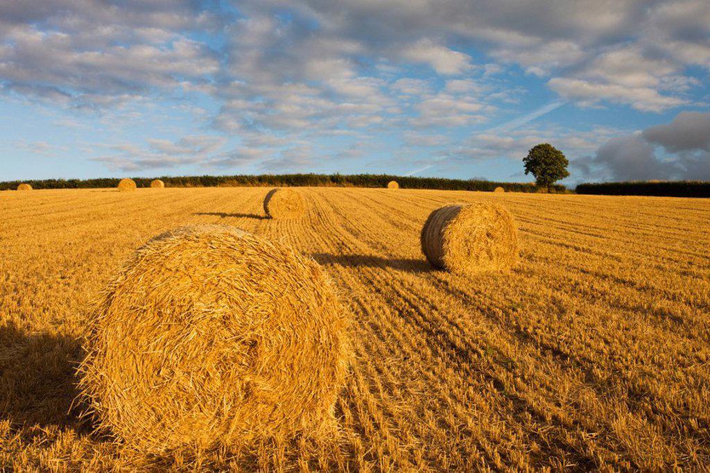 Round hay bales in a field near Morchard Bishop, Devon, England, United Kingdom, Europe : Stock Photo