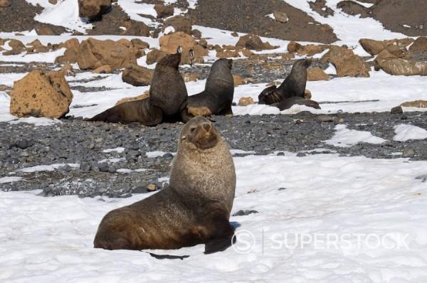 Stock Photo: 1890-91014 Fur seals at Brown Bluff, Antarctic Peninsula, Antarctica, Polar Regions