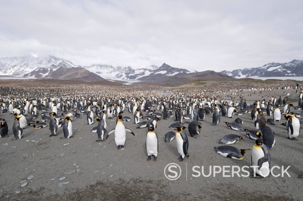 Stock Photo: 1890-91237 King penguins, St. Andrews Bay, South Georgia, South Atlantic