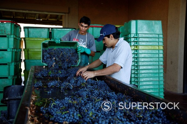 Stock Photo: 1890-92212 Workers taking out rotten grapes and bunches before crushing harvested grapes at the Vistalba winery, Lujan de Coyu, Mendoza, Argentina, South America