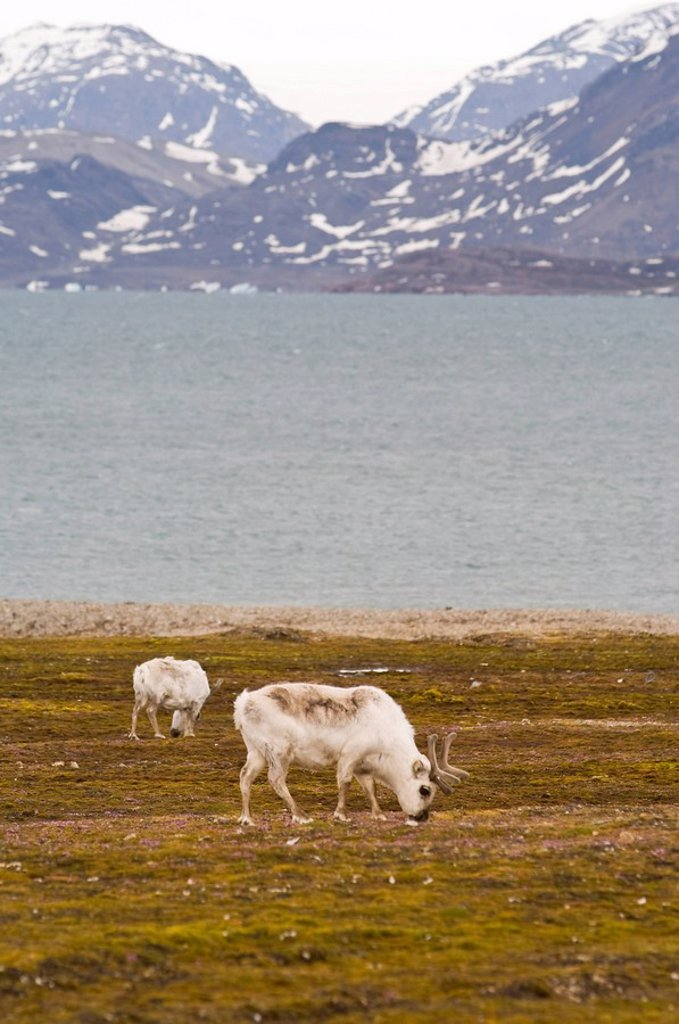 Reindeer at Ny Alesund, Svalbard Archipelago, Norway, Arctic, Scandinavia, Europe : Stock Photo