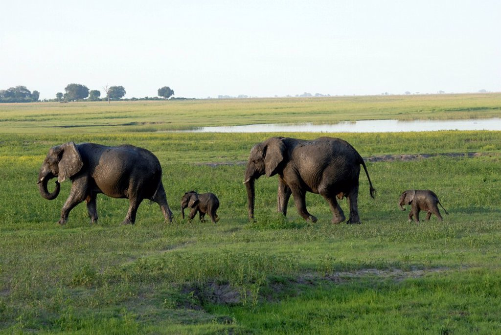 Stock Photo: 1890-96297 Elephants and their young, Chobe National Park, Botswana, Africa