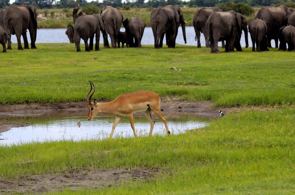 Elephants and impala, Chobe River, Botswana, Africa : Stock Photo