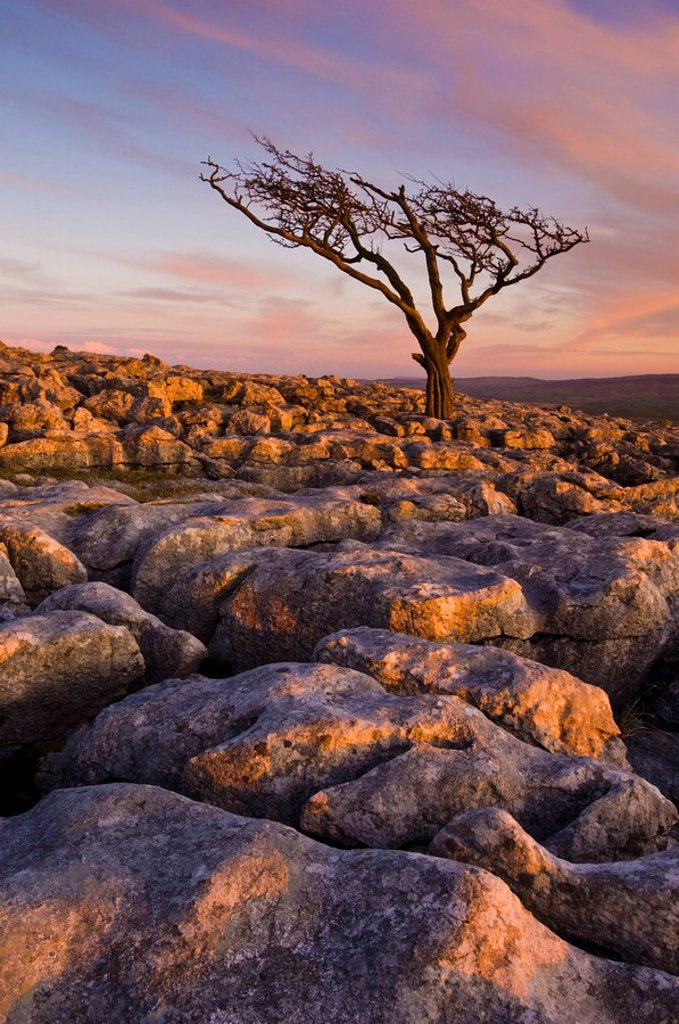 Stock Photo: 1890-96742 Twisted tree, Twistleton Scar End, Ingleton, Yorkshire Dales National Park, England, United Kingdom