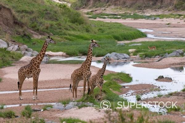 Stock Photo: 1890-98188 Masai giraffe Giraffa camelopardalis, Masai Mara National Reserve, Kenya, East Africa, Africa