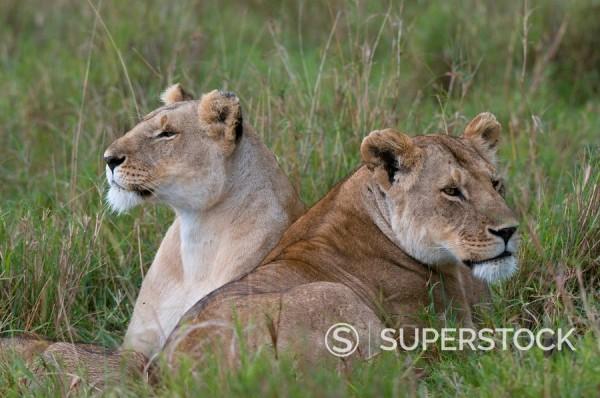 Lionesses Panthera leo, Masai Mara National Reserve, Kenya, East Africa, Africa : Stock Photo