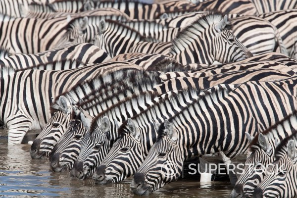 Stock Photo: 1890-98347 Burchell´s plains zebra Equus burchelli, at waterhole, Etosha National Park, Namibia, Africa