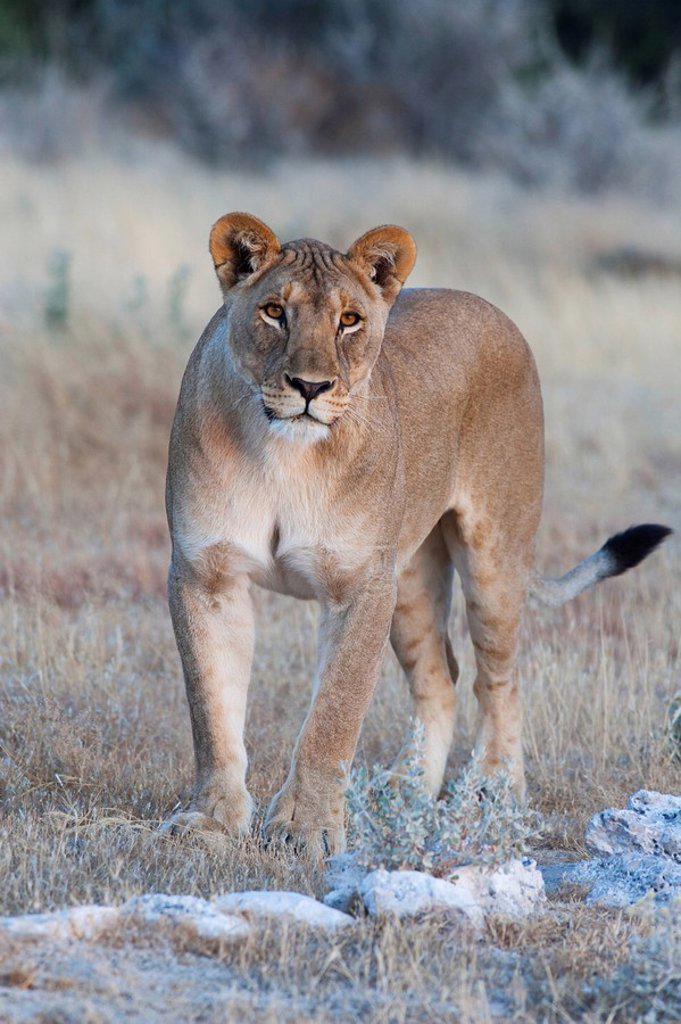 Stock Photo: 1890-98355 Lioness Panthera leo, Etosha National Park, Namibia, Africa