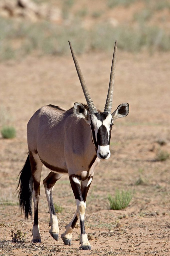 Stock Photo: 1890-98627 Gemsbok or South African oryx Oryx gazella, Kgalagadi Transfrontier Park, encompasing the former Kalahari Gemsbok National Park, South Africa, Africa