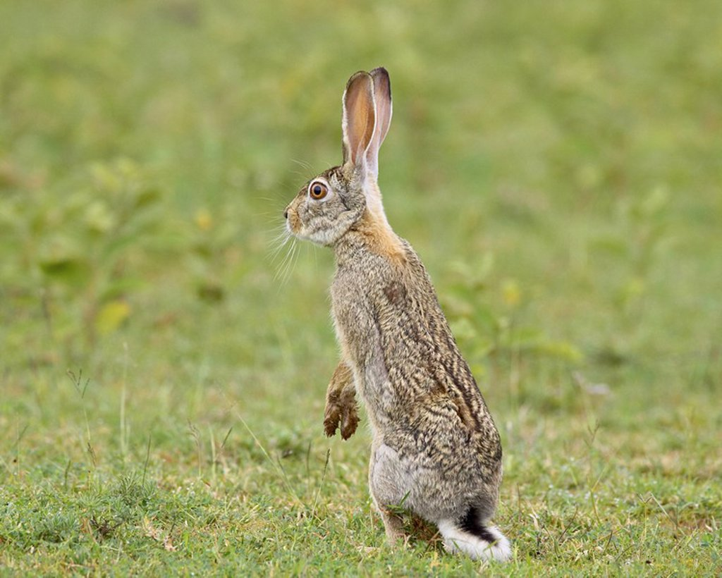 Stock Photo: 1890-98636 African hare Cape hare brown hare Lepus capensis, Serengeti National Park, Tanzania, East Africa, Africa