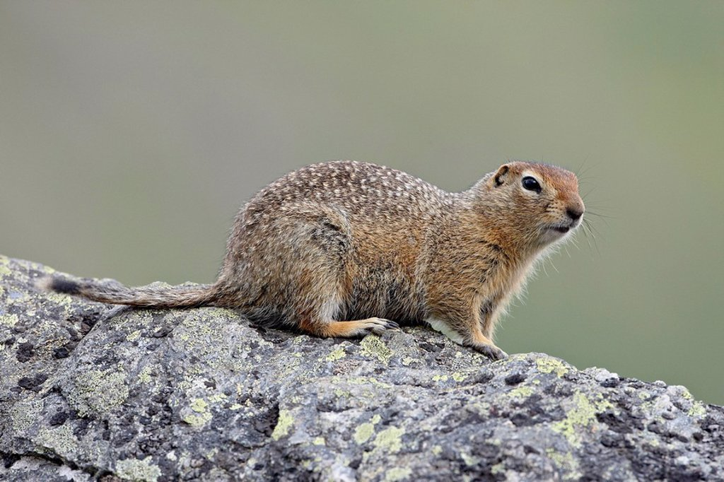 Stock Photo: 1890-98906 Arctic ground squirrel Parka squirrel Citellus parryi, Hatcher Pass, Alaska, United States of America, North America