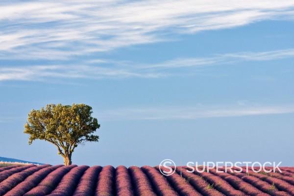 Lavender field, Plateau de Valensole, Provence, France, Europe : Stock Photo