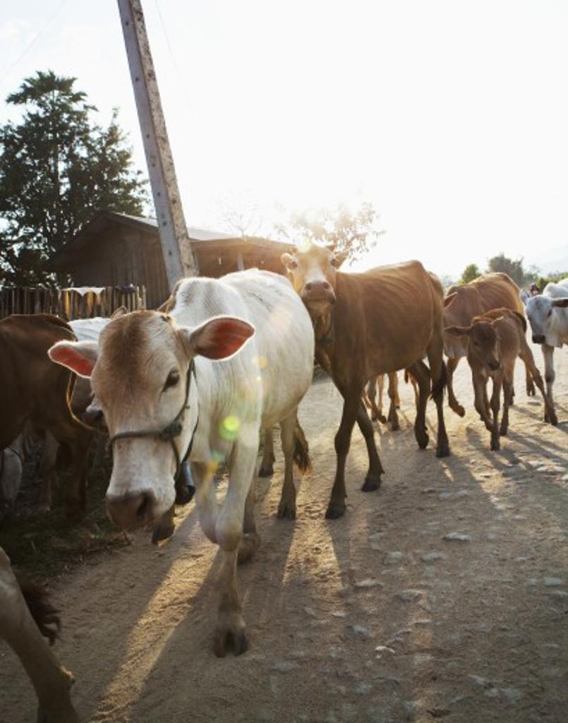 Stock Photo: 1891-202 Herd of cows walking on a dirt road, Myanmar