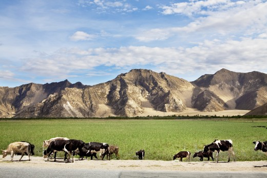 Cows grazing along the road, Tibet, : Stock Photo
