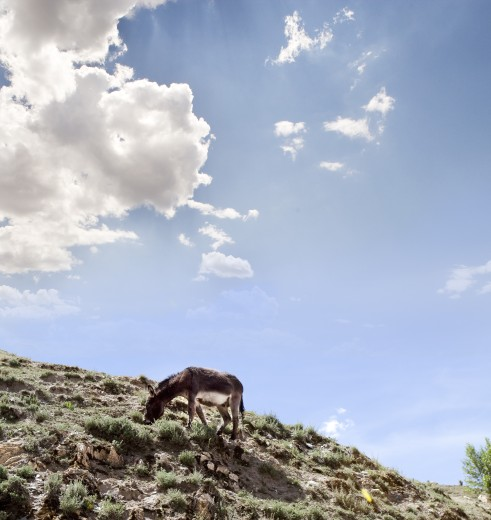 Stock Photo: 1891-323 Donkey grazing on a hill, Tibet,
