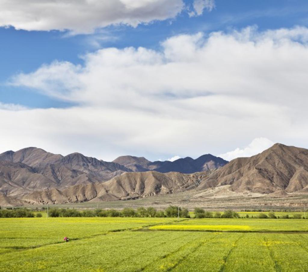 Stock Photo: 1891-336 Crop in a field near mountains, Tibet,