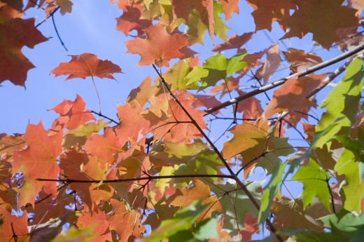 Stock Photo: 1893R-136 Autumn leaves on a tree