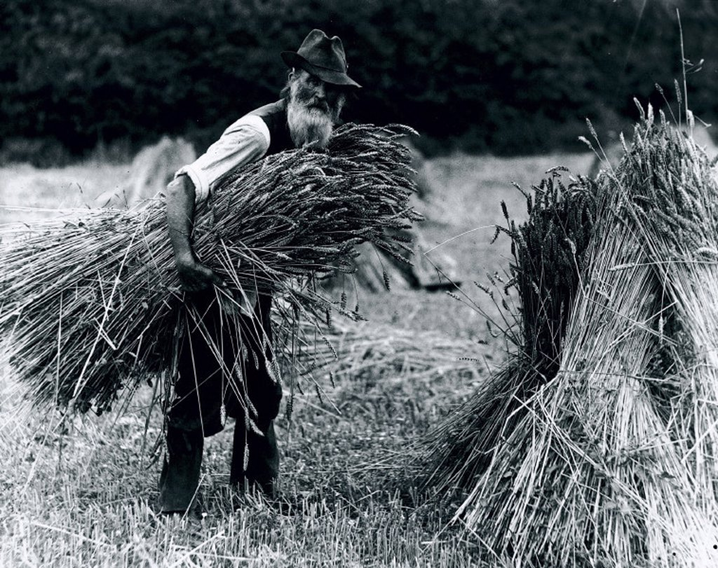 A farm labourer carrying hay to add to a stook, 1900-1930. : Stock Photo