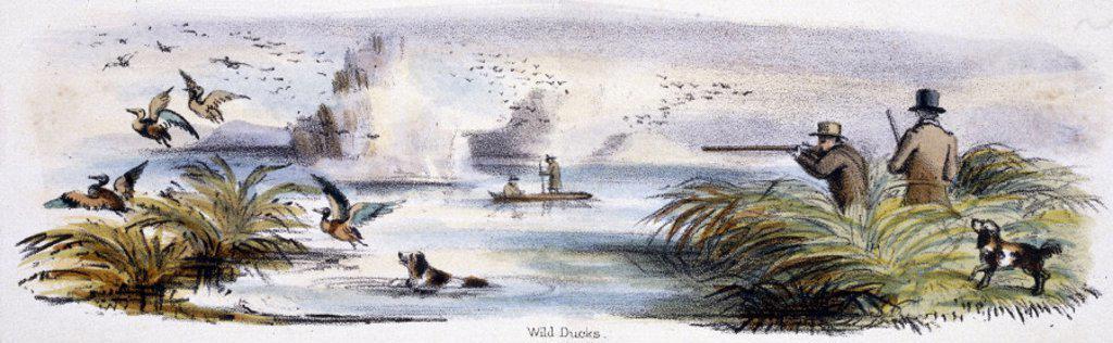 ´Wild Ducks´, c 1845. : Stock Photo
