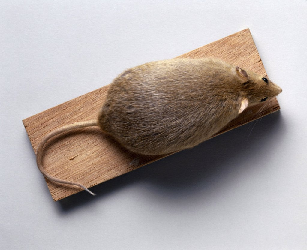 Obese mouse, 1998. : Stock Photo