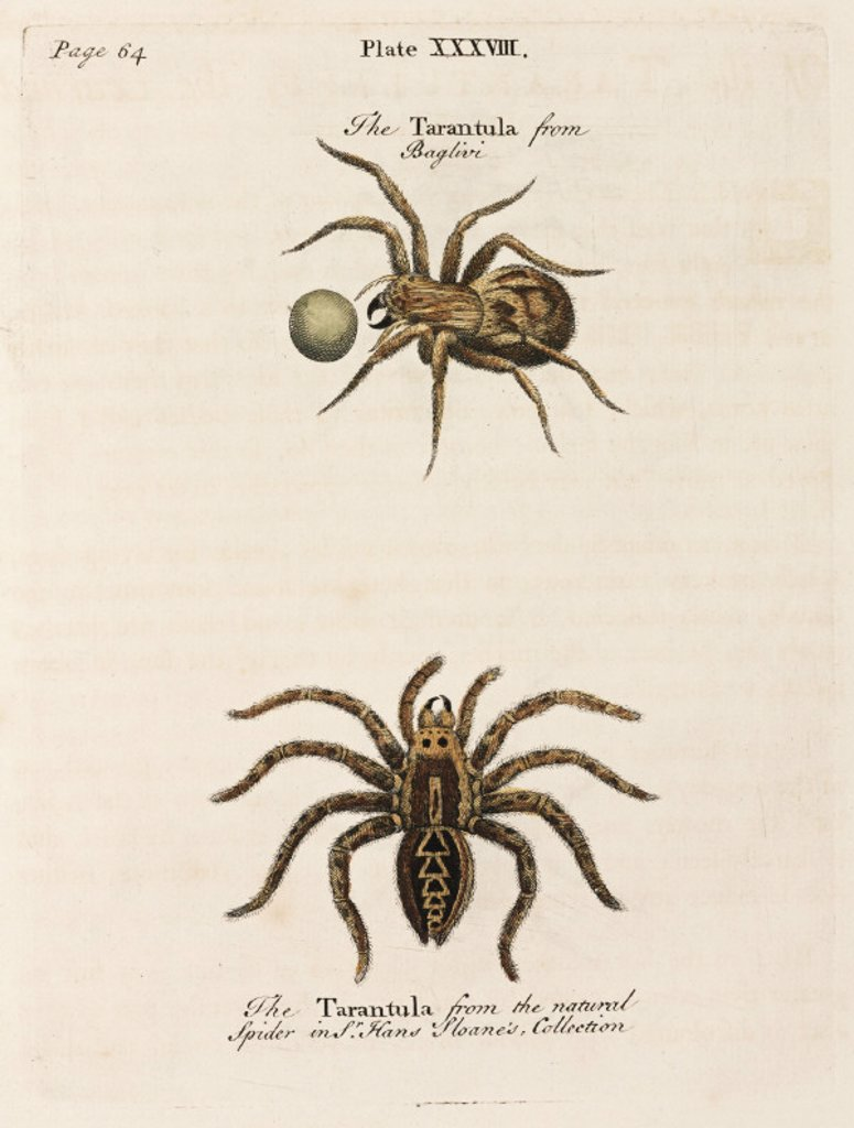 Two tarantulas, 1736. : Stock Photo