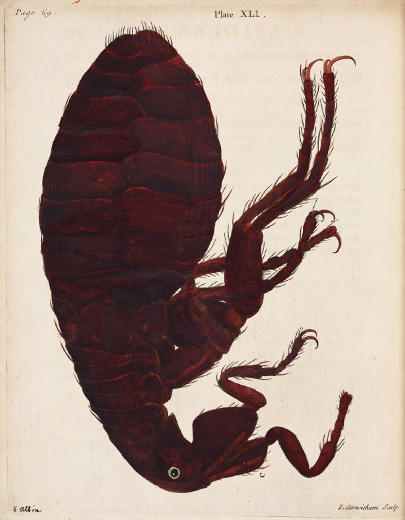 Stock Photo: 1895-25811 Flea, 1736.