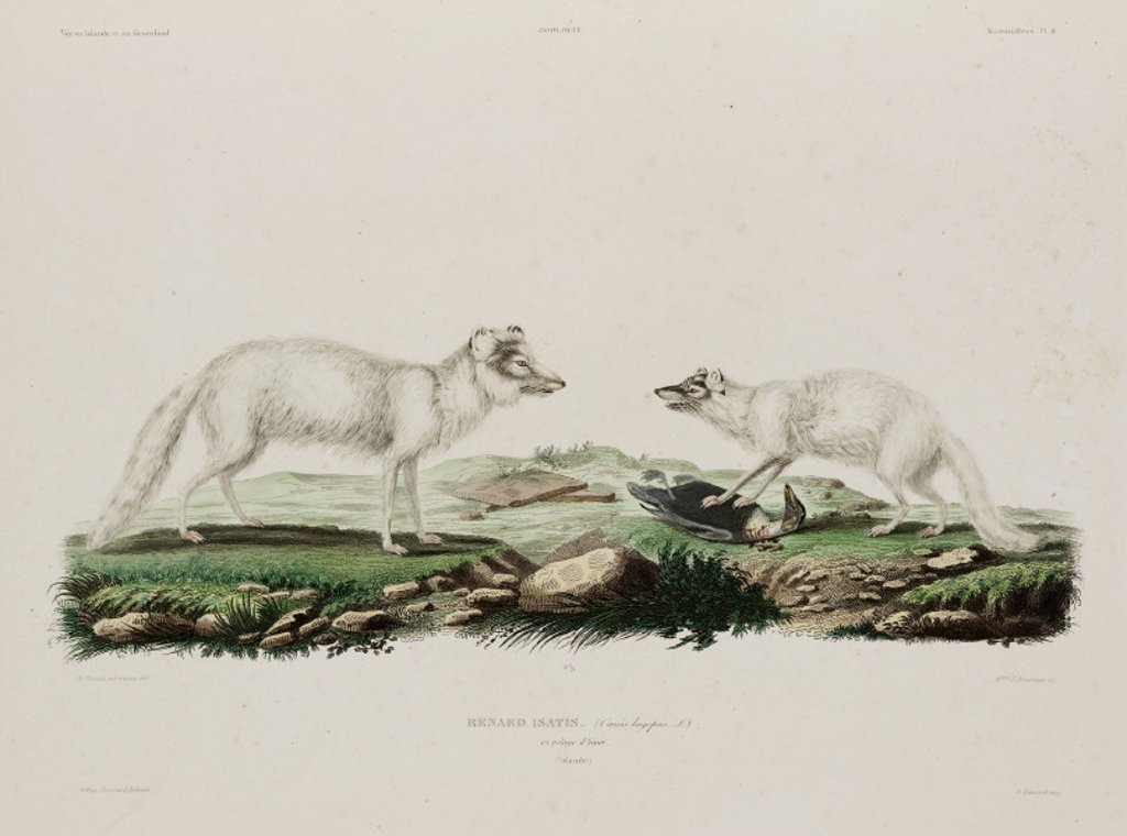 Arctic foxes, Iceland, early 19th century. : Stock Photo