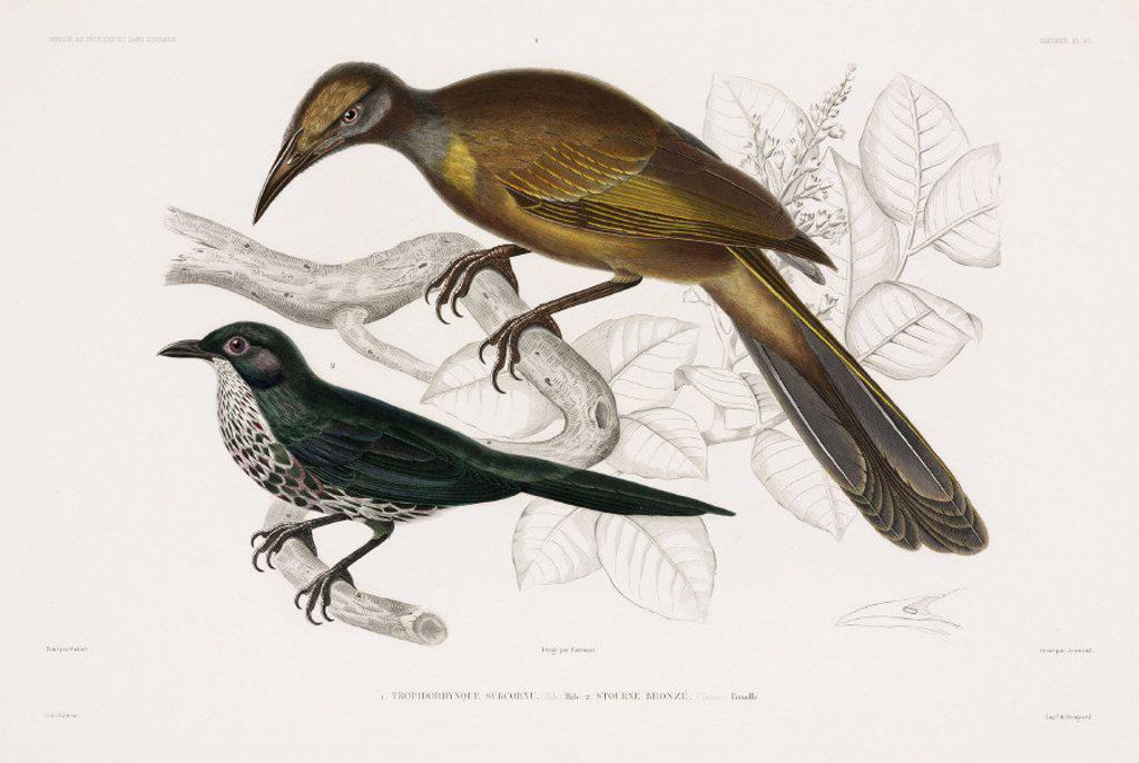 Two types of bird, 1837-1840. : Stock Photo