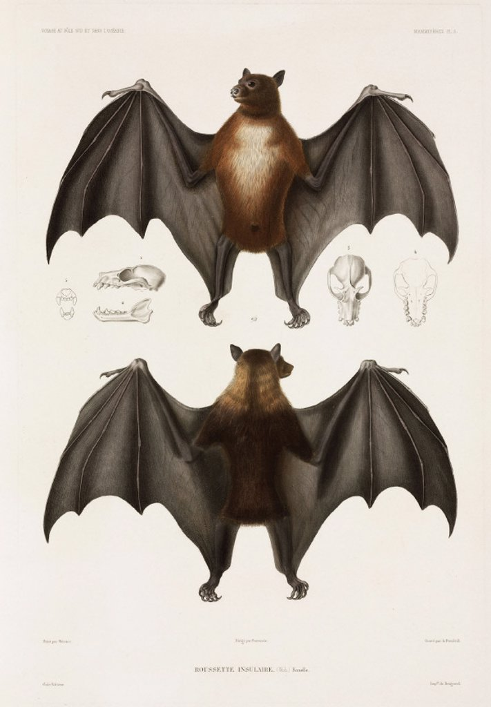 Flying fox, 1837-1840. : Stock Photo