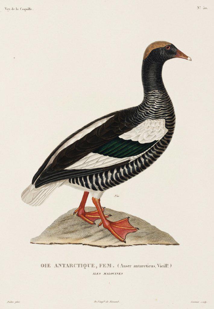Stock Photo: 1895-28697 Antarctic goose, (female), Falkland Islands, 1822-1825.
