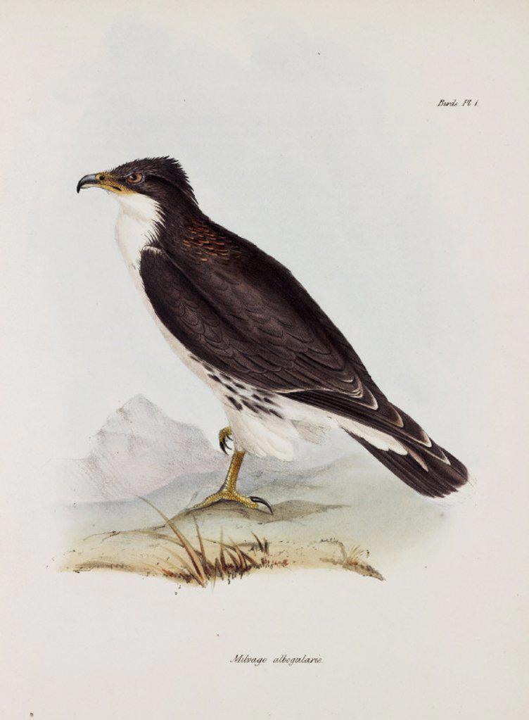 Stock Photo: 1895-28811 Falcon, South America, c 1832-1836.
