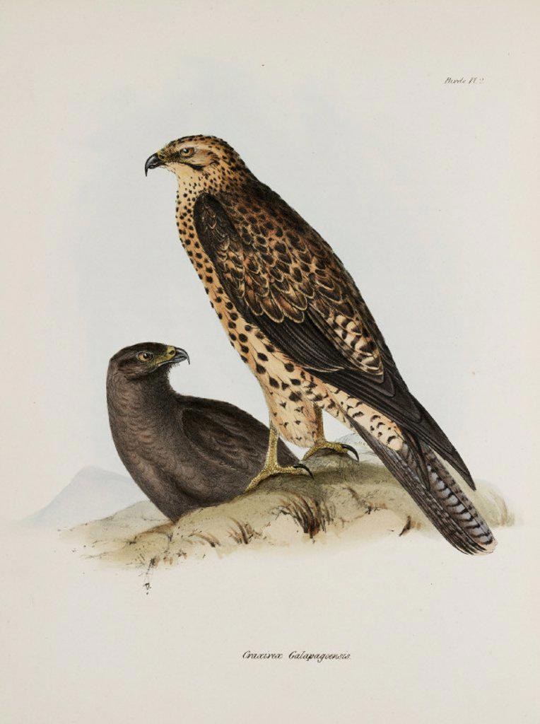 Birds of prey, Galapagos Islands, c 1832-1836. : Stock Photo
