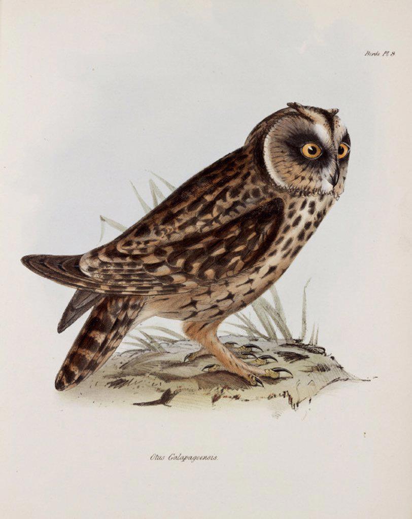Owl, Galapagos Islands, c 1832-1836. : Stock Photo