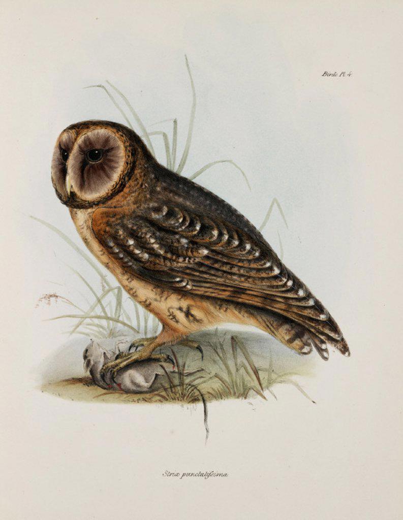 Owl, South America, c 1832-1836. : Stock Photo