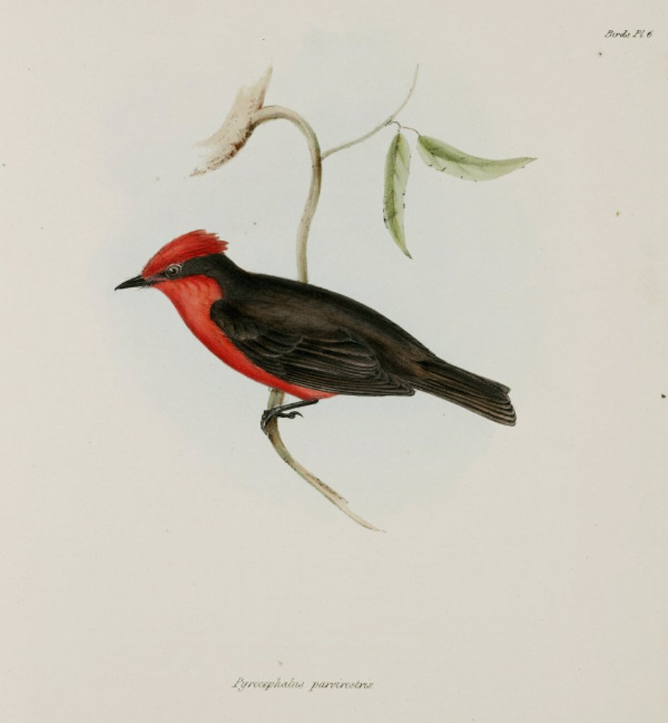 Red-crested bird, c 1832-1836. : Stock Photo