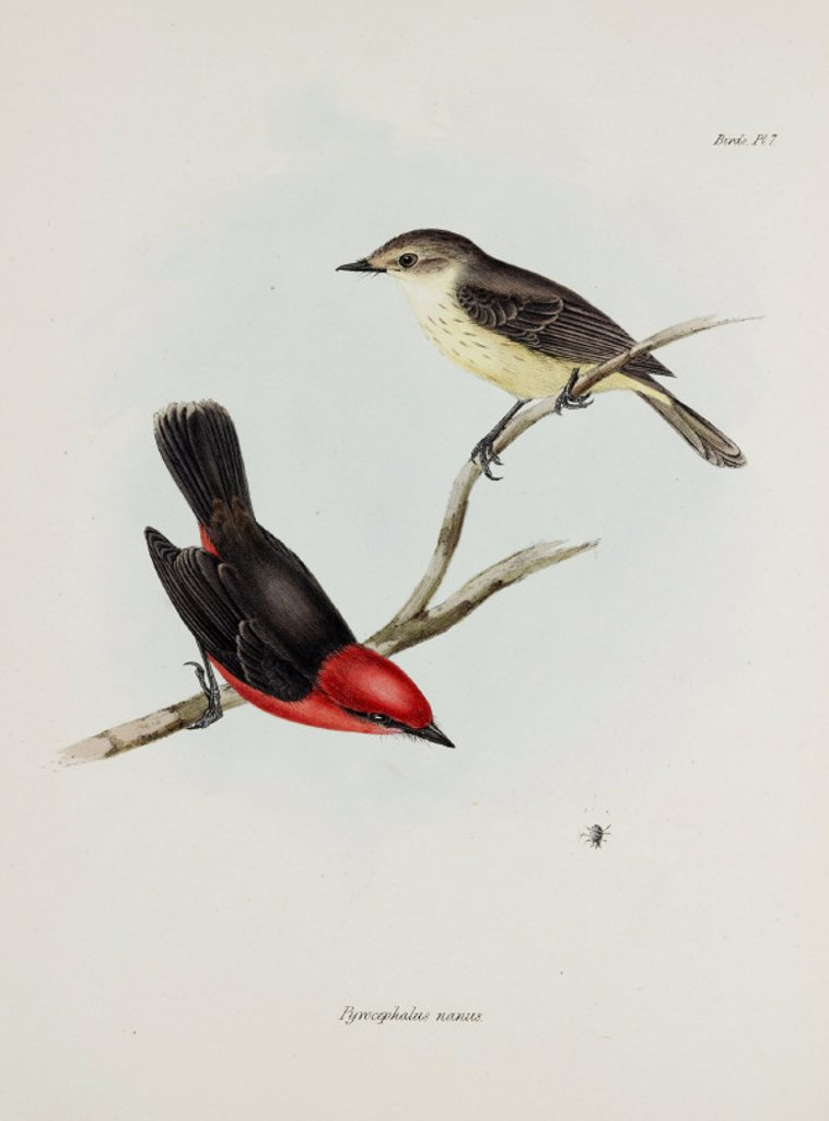 Stock Photo: 1895-28817 Pair of birds, c 1832-1836.