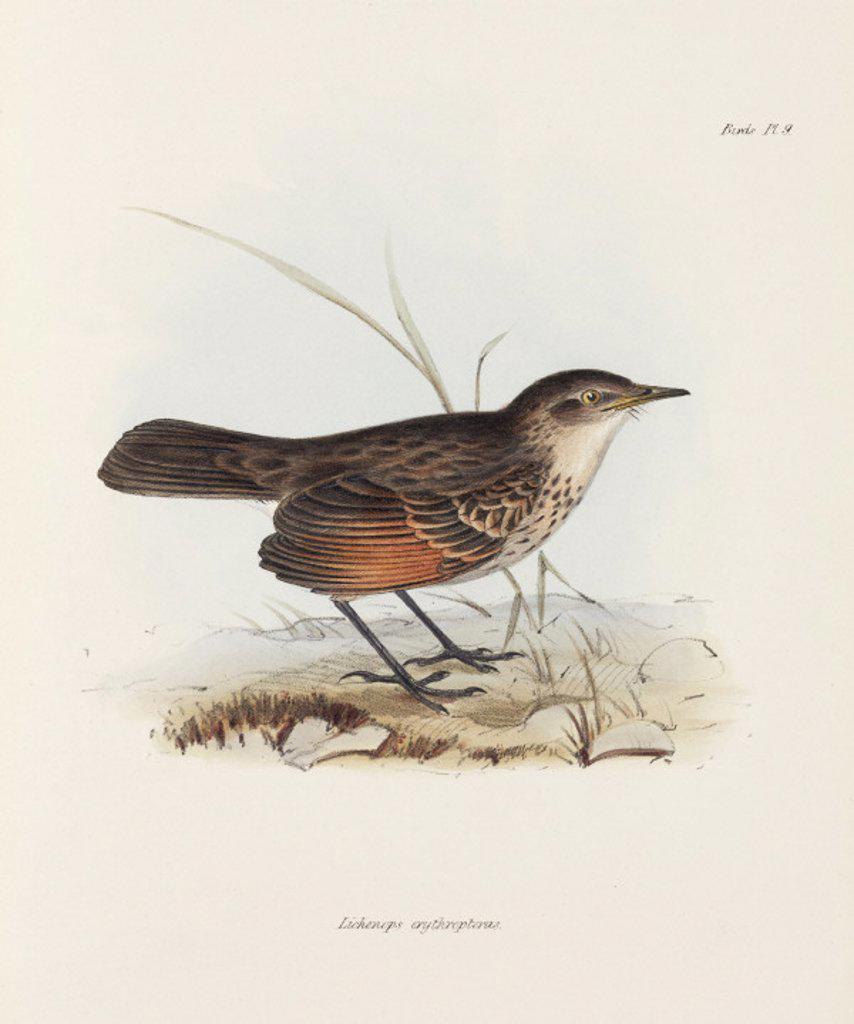 Flycatcher, c 1832-1836. : Stock Photo