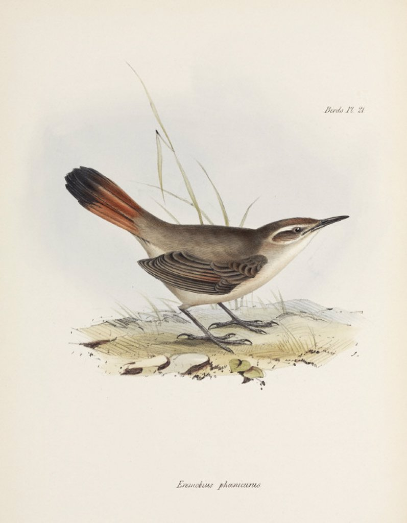 Band-tailed earthcreeper, South America, c 1832-1836. : Stock Photo