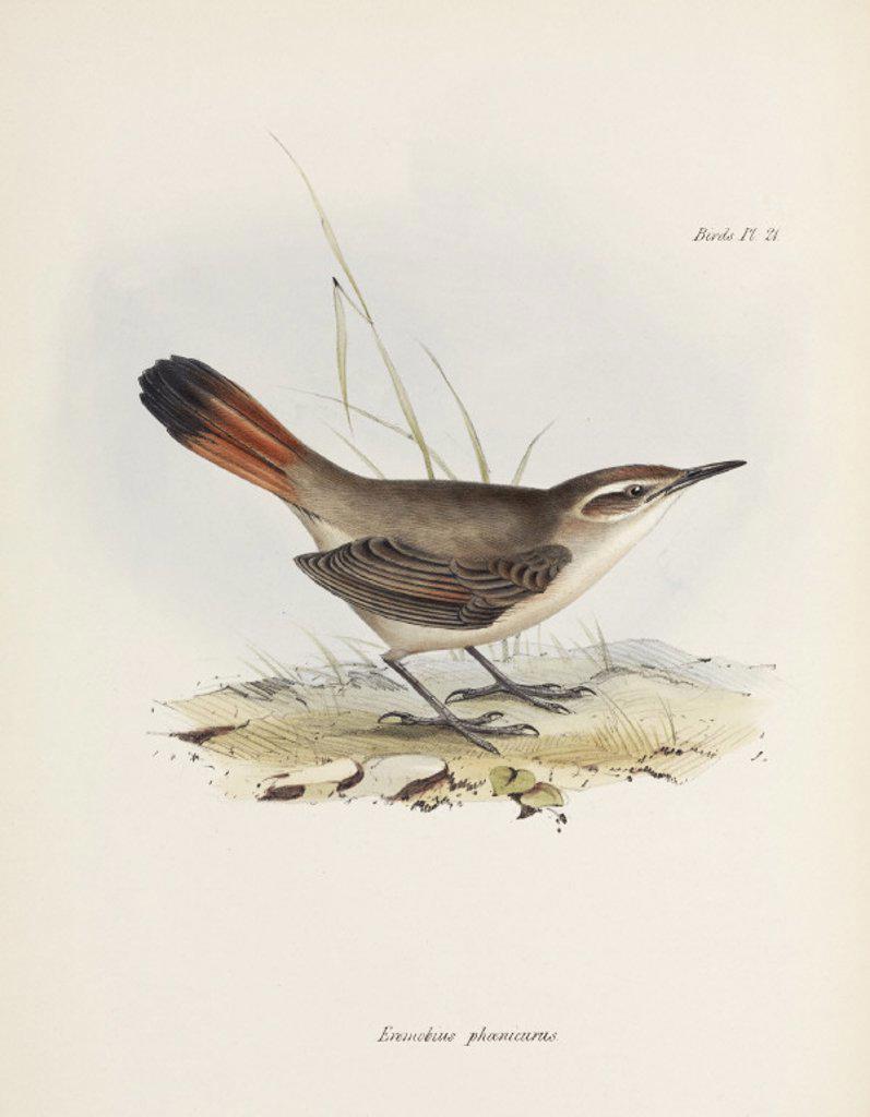 Stock Photo: 1895-28831 Band-tailed earthcreeper, South America, c 1832-1836.