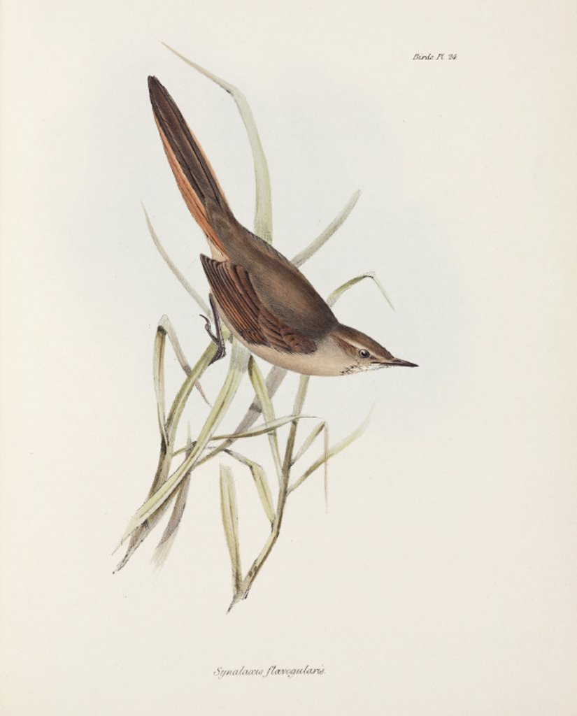 Stock Photo: 1895-28834 Spinetail, South America, c 1832-1836.
