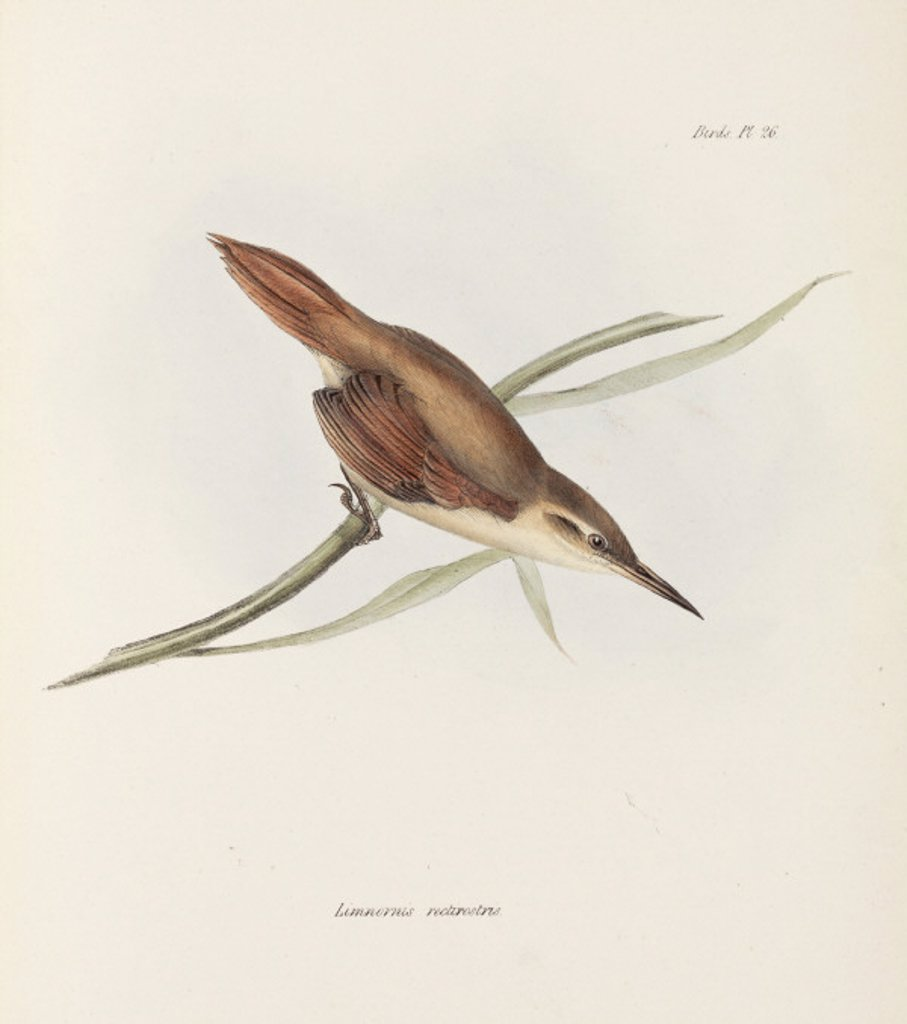 Stock Photo: 1895-28836 Straight-billed reedhaunter, Argentina, c 1832-1836.